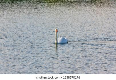 A swan swim in pond