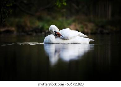 Swan swimming at dusk