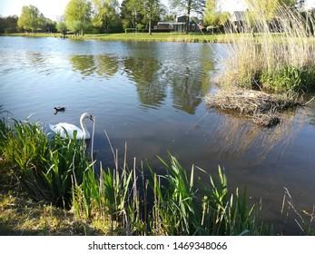 Swan swimming at the lake