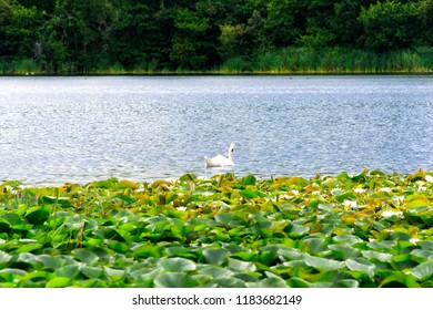 Swan swimming in a lake with flowering lily pads in Blarney, Ireland