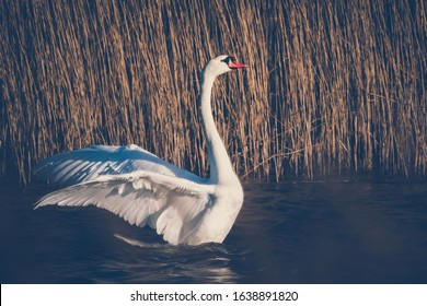 Swan is swimming in the lake - mute swan