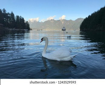 Swan swimming on ferry and mountains background
