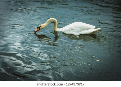 Swan is swimming on a River