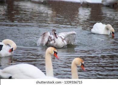 Swan is swimming on the swan's lake.