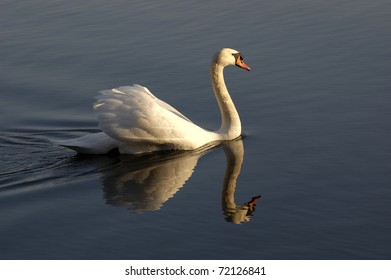 Swan swimming in a pond, illuminated by the sunset
