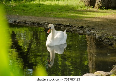 A swan is swimming in a pond. Reflection in water