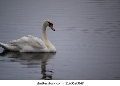 Swan swimming, reflected in the water