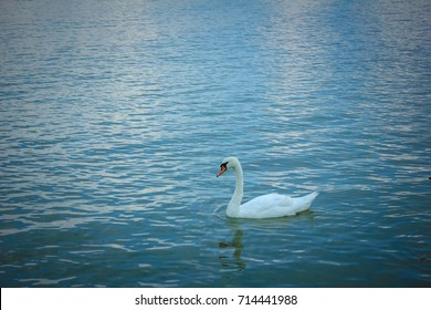Swan swimming in the river