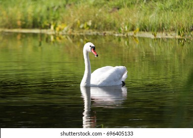 Swan swimming in small park lake near river.
