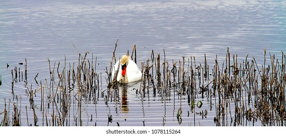 Swan swimming in the wetlands around reeds in water