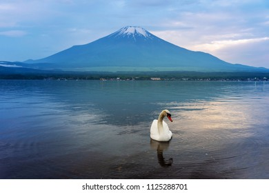 Swan swimming in Yamanaka lake, Japan