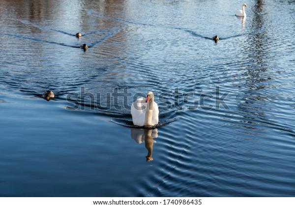 A swan swims across the lake
