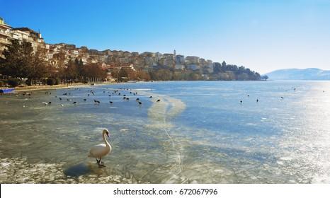 Swan walking over the frozen lake Orestiada in Kastoria ,Greece