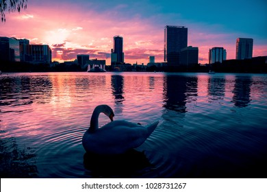 Swan in the water of a dramatic sunset in Lake Eola Orlando Florida.