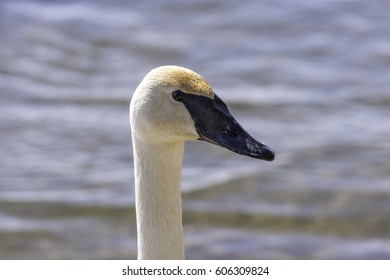Swan wet from swimming looking at camera, closeup of face, eye and beak