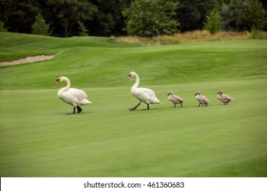 Swan. White swans. Goose. Geese with young goslings on green grass. Bird swan, bird goose. Swan family walking on grass. Swan bird with little swans. Swans with nestlings. Swan with chicks. Mute Swan
