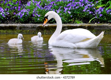 swan and young