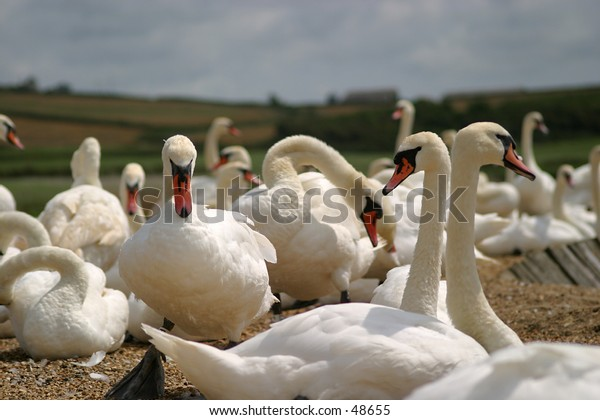 Swans at Abbotsbury Swannery, Dorset, England