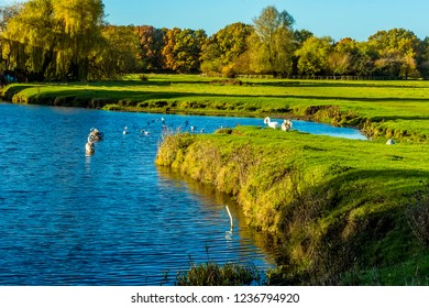 Swans bask in the autumn sunshine on the River Stour in Sudbury, Suffolk on a sunny autumn day