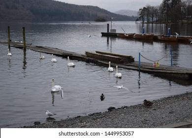Swans and birds on lake with darkening background