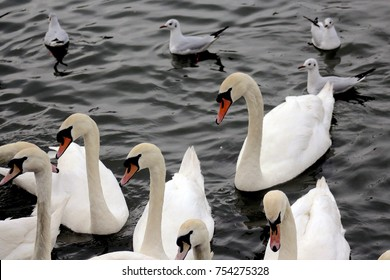 Swans and Black-Headed Gulls on Water