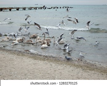 Swans in the Caspian Sea. The month of February. Kazakhstan.