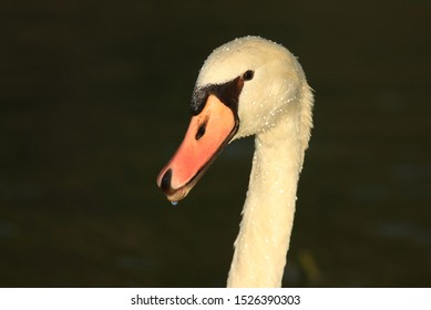Swan's closeup with water drops in beautiful sunlight