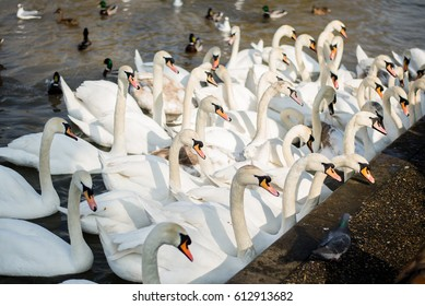 Swans converging to be fed in Windsor, England.