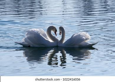 Swans creating heart shape at lake Jarun, Zagreb, Croatia