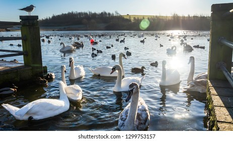 Swans, Cygnets, Mallards, Ducks and Seagulls swimming in a blue lake in the spring sunshine with clear blue sky in January.  Taken at Herrington Country Park, Sunderland.