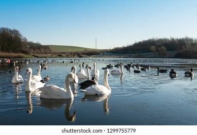 Swans, Cygnets, Mallards and Ducks swimming peacefully in a part frozen lake in the spring sunshine with a clear blue sky.  Taken at Herrington Country Park, Sunderland.
