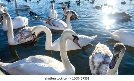 Swans, Cygnets, Mallards and Ducks swimming peacefully in a lake in the spring sunshine with clear blue sky in January.