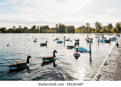 Swans, ducks, seagulls and gooses in London