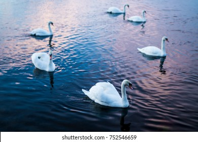 Swans during Sunset