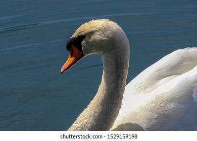 A swan's face and neck
