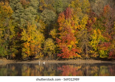 Swans and Fall Foliage. Ramapo Valley County Reservation, Mahwah, NJ