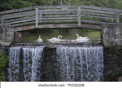 Swans feeding below a wooden bridge. Waterfall located at Seven Springs, Pennsylvania.