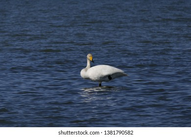 Swans Finland vaasa onkilahti bay