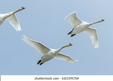 Swans in flight blue sky (Cygnus olor)