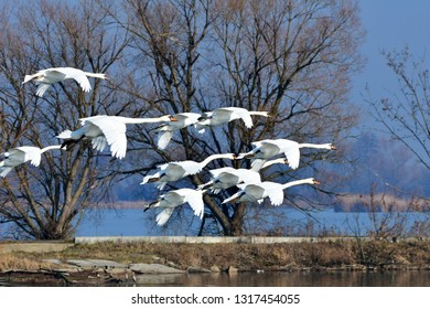 swans in flight,Tovacov birding area in Czech republic