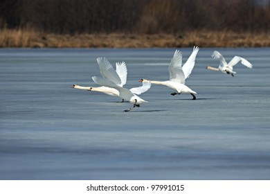 Swans fly over the lake