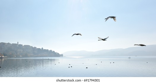 Swans flying above the lake to Kastoria city in a winter morning
