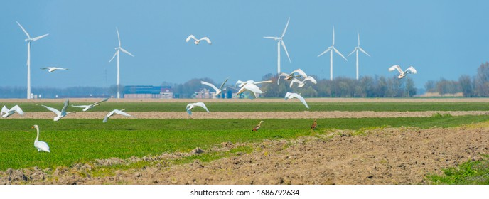 Swans flying over a green agricultural field in a blue sky in sunlight in spring