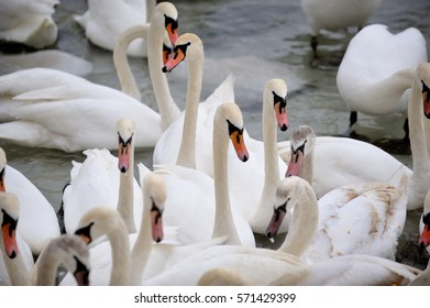 Swans in a group