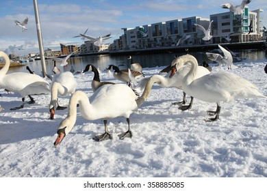 Swans and gulls feeding in the snow at Portishead Quays Marina