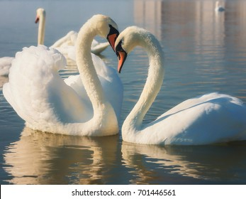 Swans. He and she. Love story.