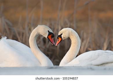 Swans - heart