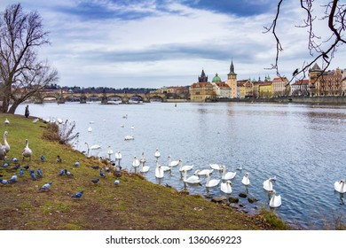 Swans in an Island in the Vltava river with Charles bridge and the Old Town in the background. Czech Republic, Europe