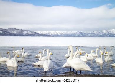 Swans in Lake Kussharo, Hokkaido. Hokkaido is the most northern main island in Japan.