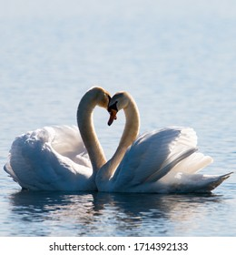 Swans in love in close-up
